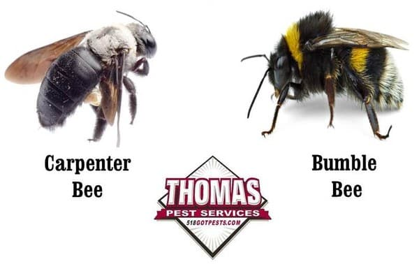 difference between wood bee and bumblebee 2