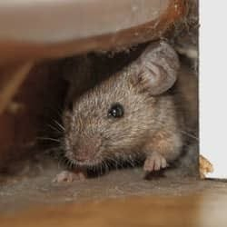 mouse found between walls of new york home