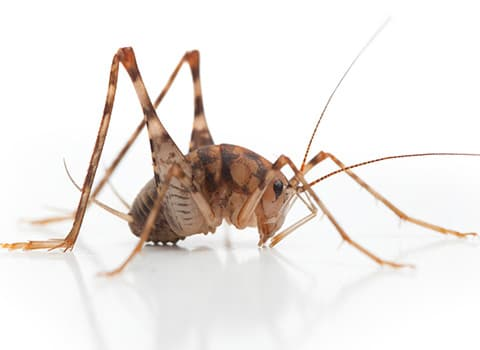 Camel Crickets In Ny Identification Control And Prevention