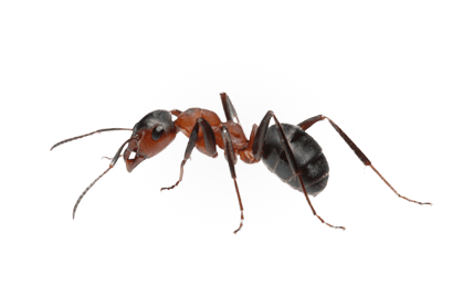 how to find carpenter ants