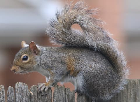 Gray Squirrel Identification And Control