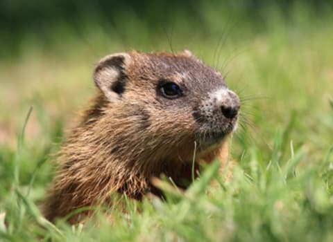Ground Hog Removal And Prevention Tips From Albany Pest