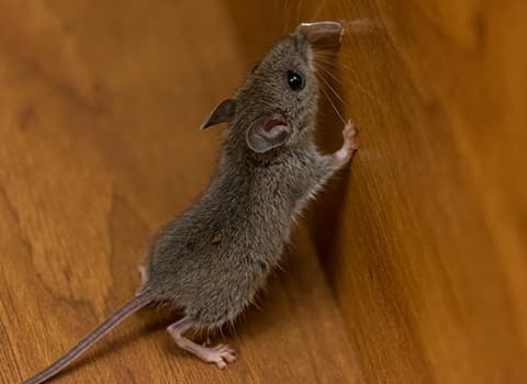 how to know whether you have mice or rats