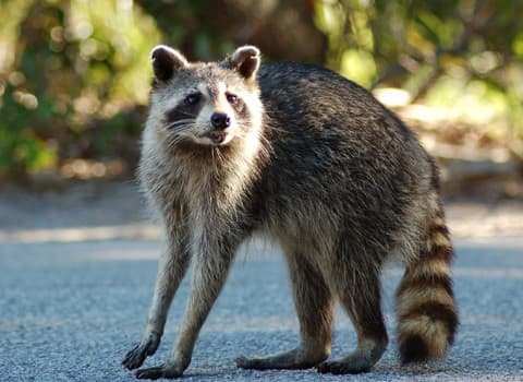 Raccoon Control And Prevention Tips From Albany Pest