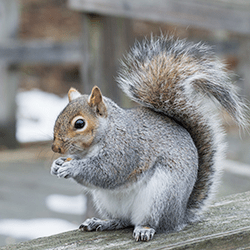 gray squirrel on deck