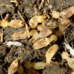 termites in ground