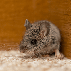 mouse in corner of living room