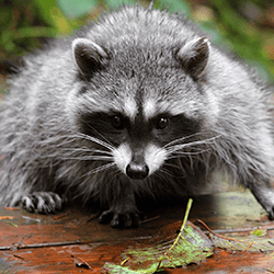 raccoon looking for winter shelter