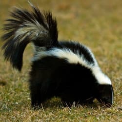 Skunk Roaming In Backyard