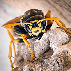 Why Yellow Jackets Are More Aggressive In The Fall
