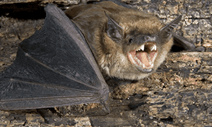 little brown bat in its cave