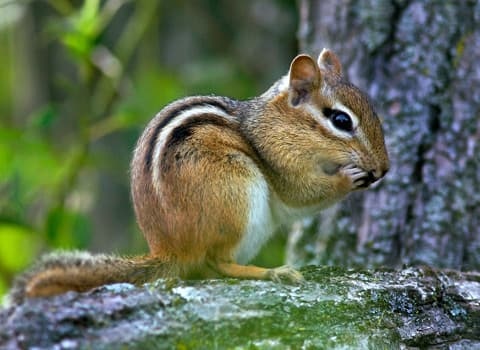 Chipmunk Control And Prevention From Albany Wildlife