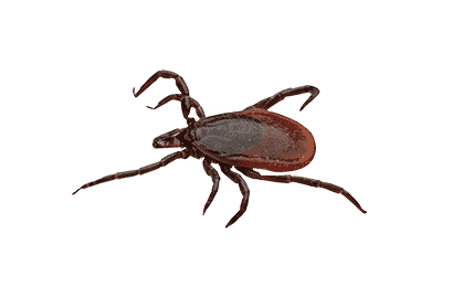 tick on a white background