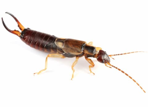 Earwigs vs. Silverfish - Do You Know the Difference? |Soldier Termite Vs Earwig