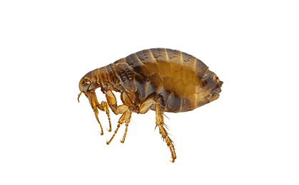 flea on a white background