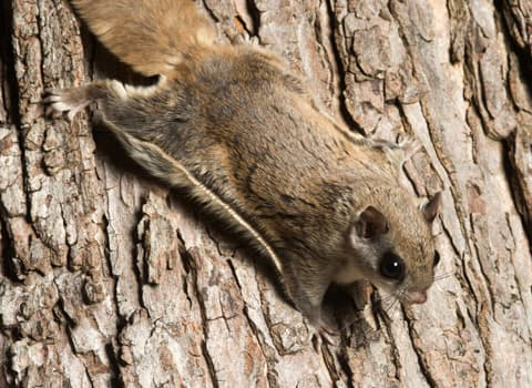 Flying Squirrels Identification Prevention And Control