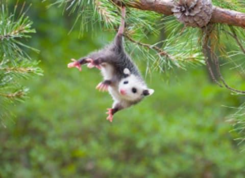 8 faits particuliers sur les opossums Opossum