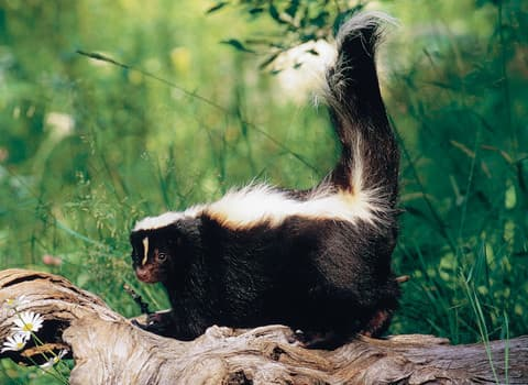 Albany Wildlife Removal Pros On Skunks And Getting Rid Of