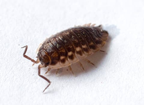 Learn More About Sowbugs And Pill Bugs In New York