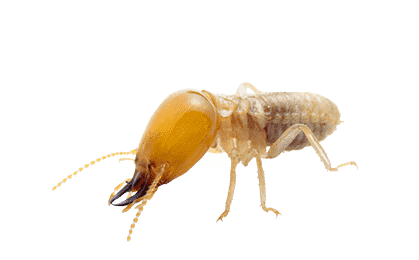 termite worker on a white background